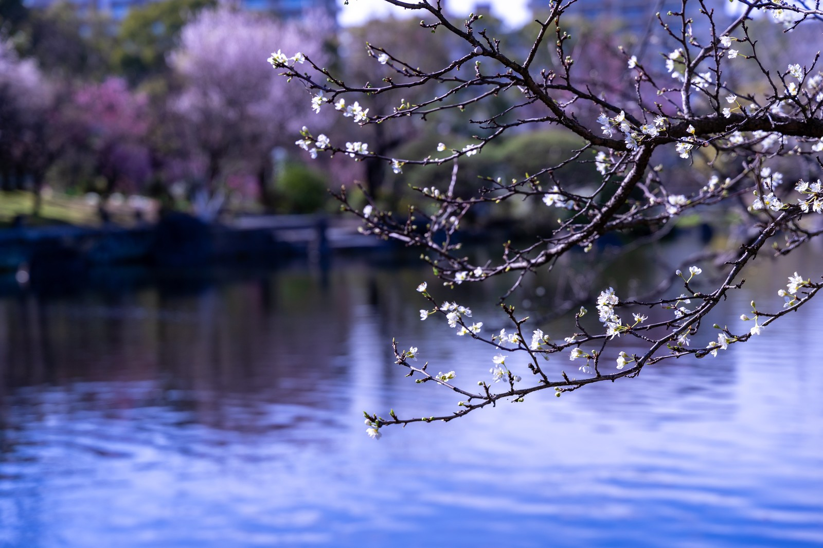 「池端の枝につく蕾と花」の写真