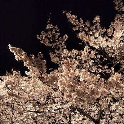 「ライトアップした夜桜」の写真素材