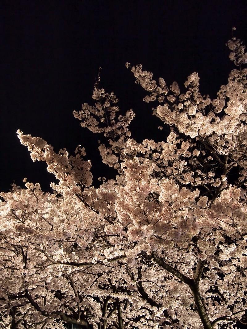 「ライトアップした夜桜」の写真