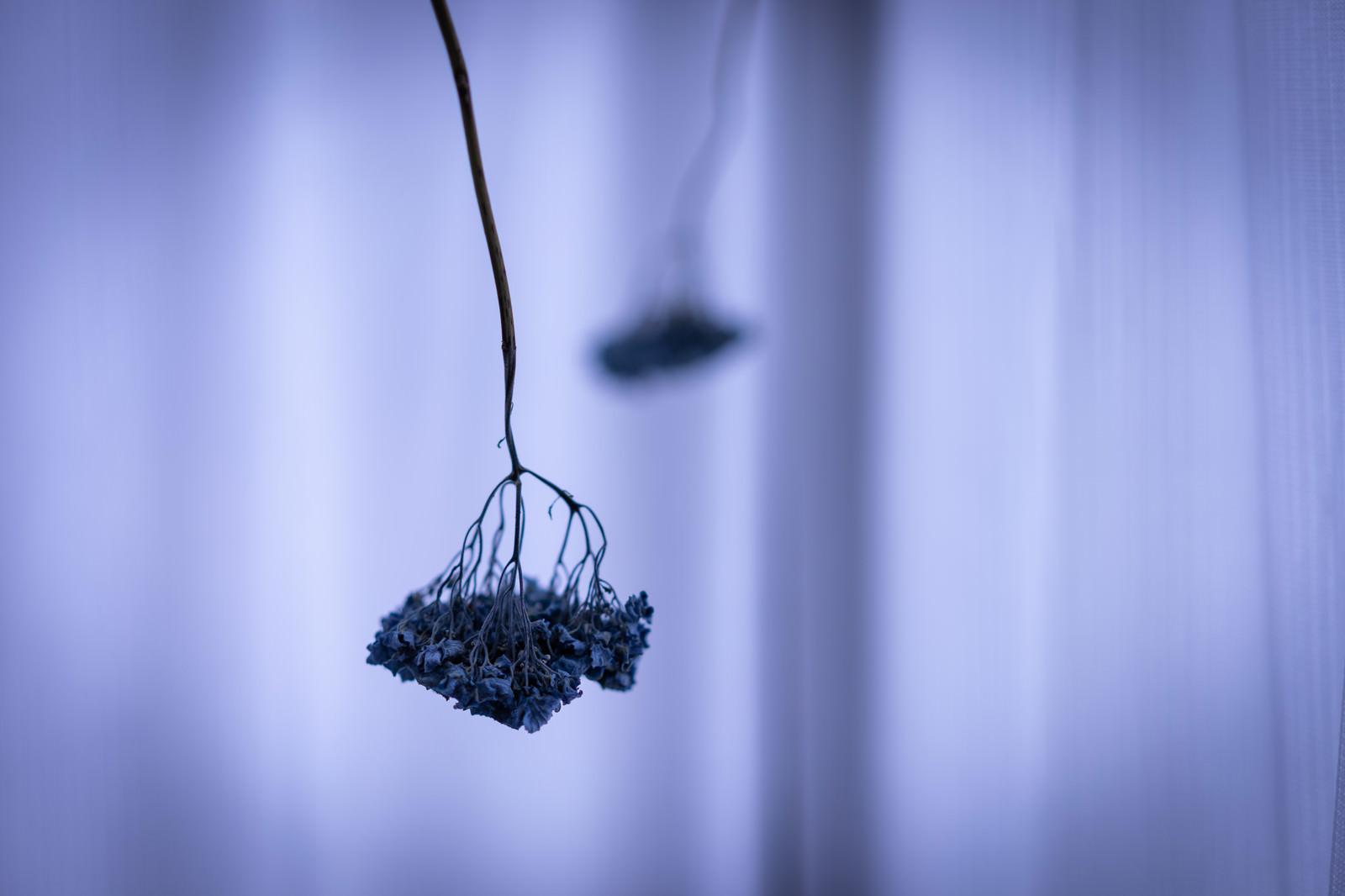 「ぶら下がるドライフラワー」の写真