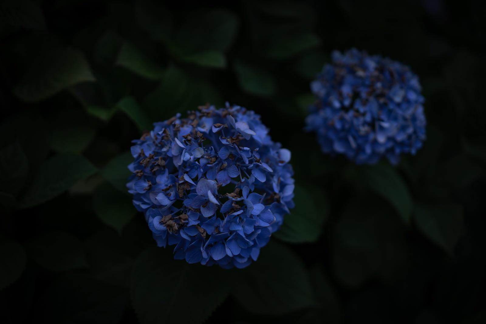 「夜道に咲く青い紫陽花」の写真