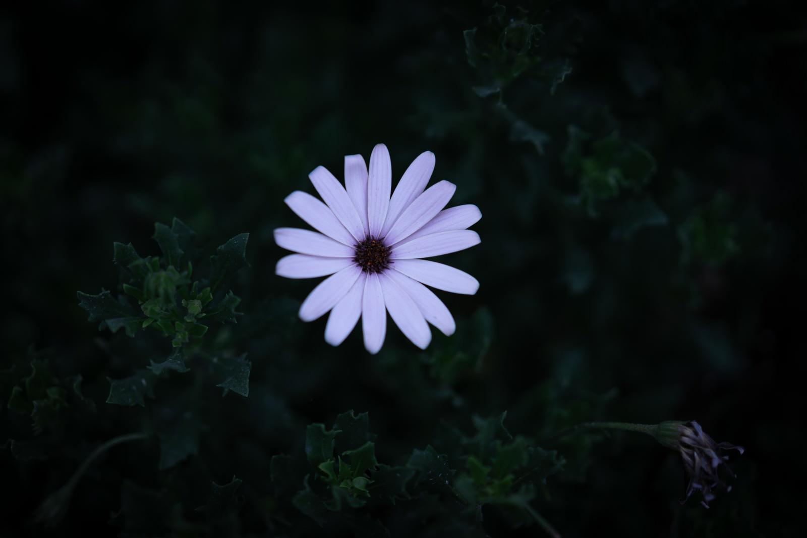 「夜道に咲く白いオステオスペルマム」の写真