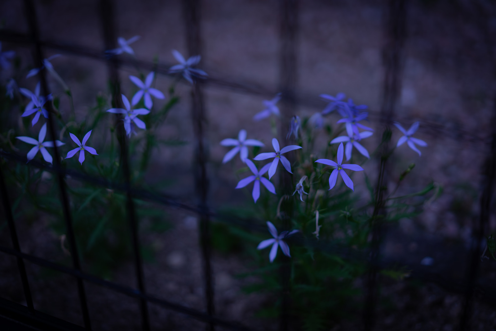 「夜道に咲く白いローレンティア(イソトマ)」の写真