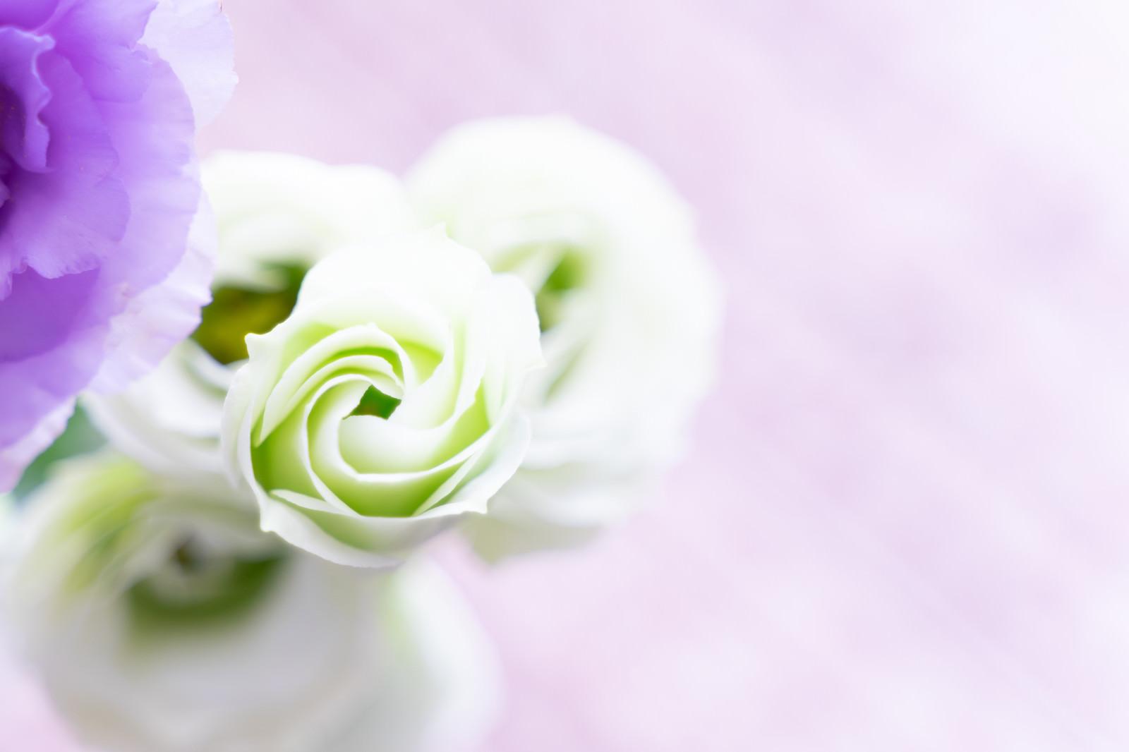 「白いガーデンローズ」の写真
