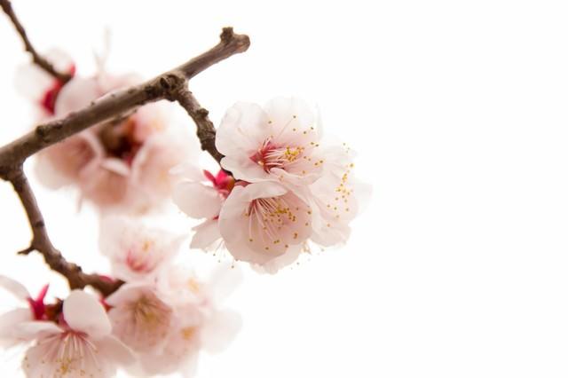 開花した白梅の写真
