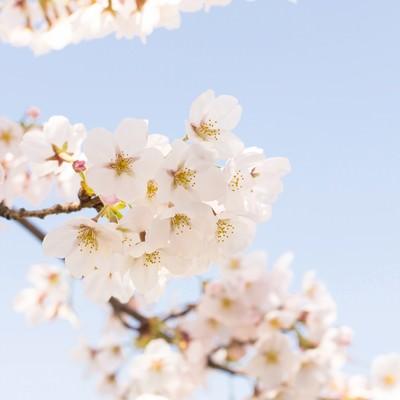「淡いグラデーションの桜」の写真素材