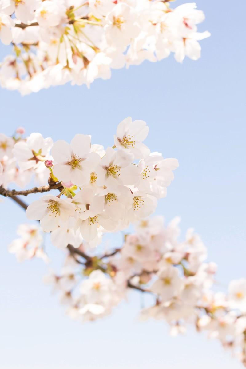 「淡いグラデーションの桜」の写真