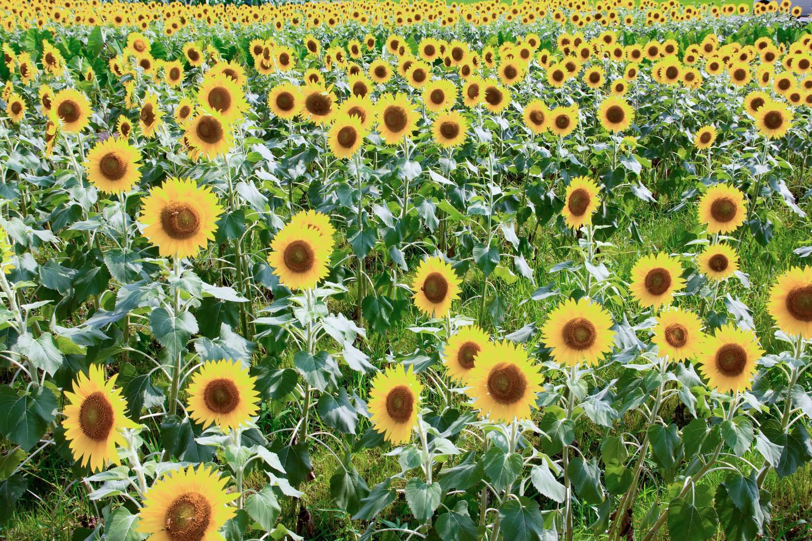 「ひまわり畑」の写真