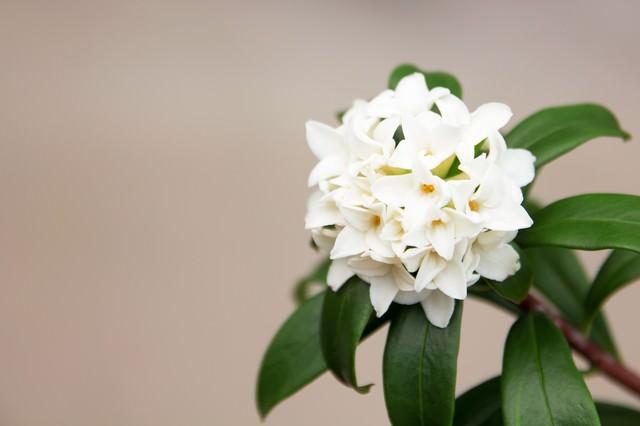 沈丁花の写真