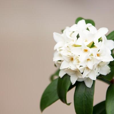 「沈丁花」の写真素材