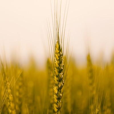 「麦の穂」の写真素材
