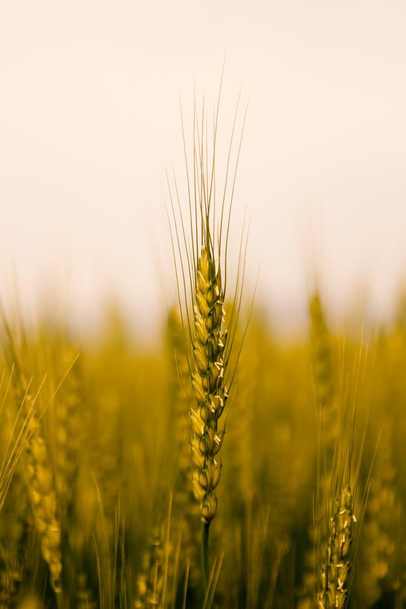 「麦の穂」の写真