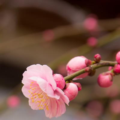 「しだれ梅」の写真素材