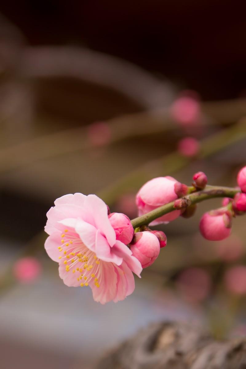 「しだれ梅しだれ梅」のフリー写真素材を拡大
