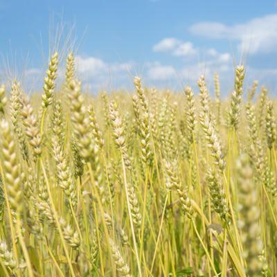 「麦穂の様子」の写真素材