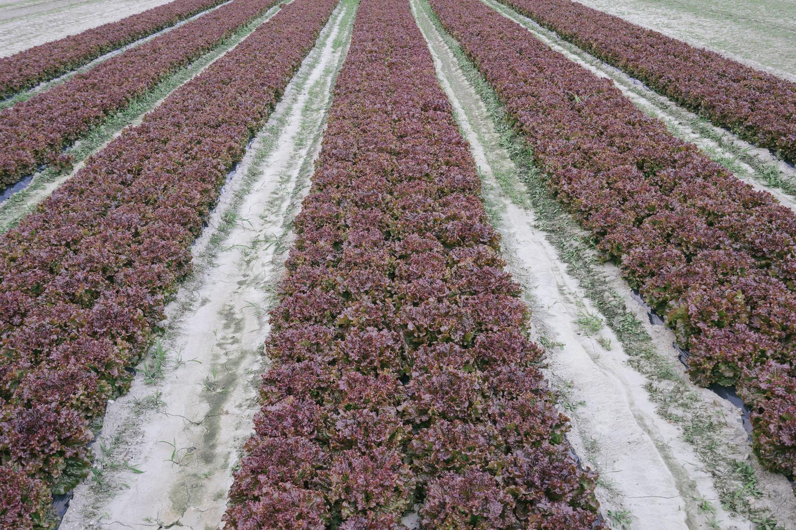 「サニーレタス畑サニーレタス畑」のフリー写真素材を拡大