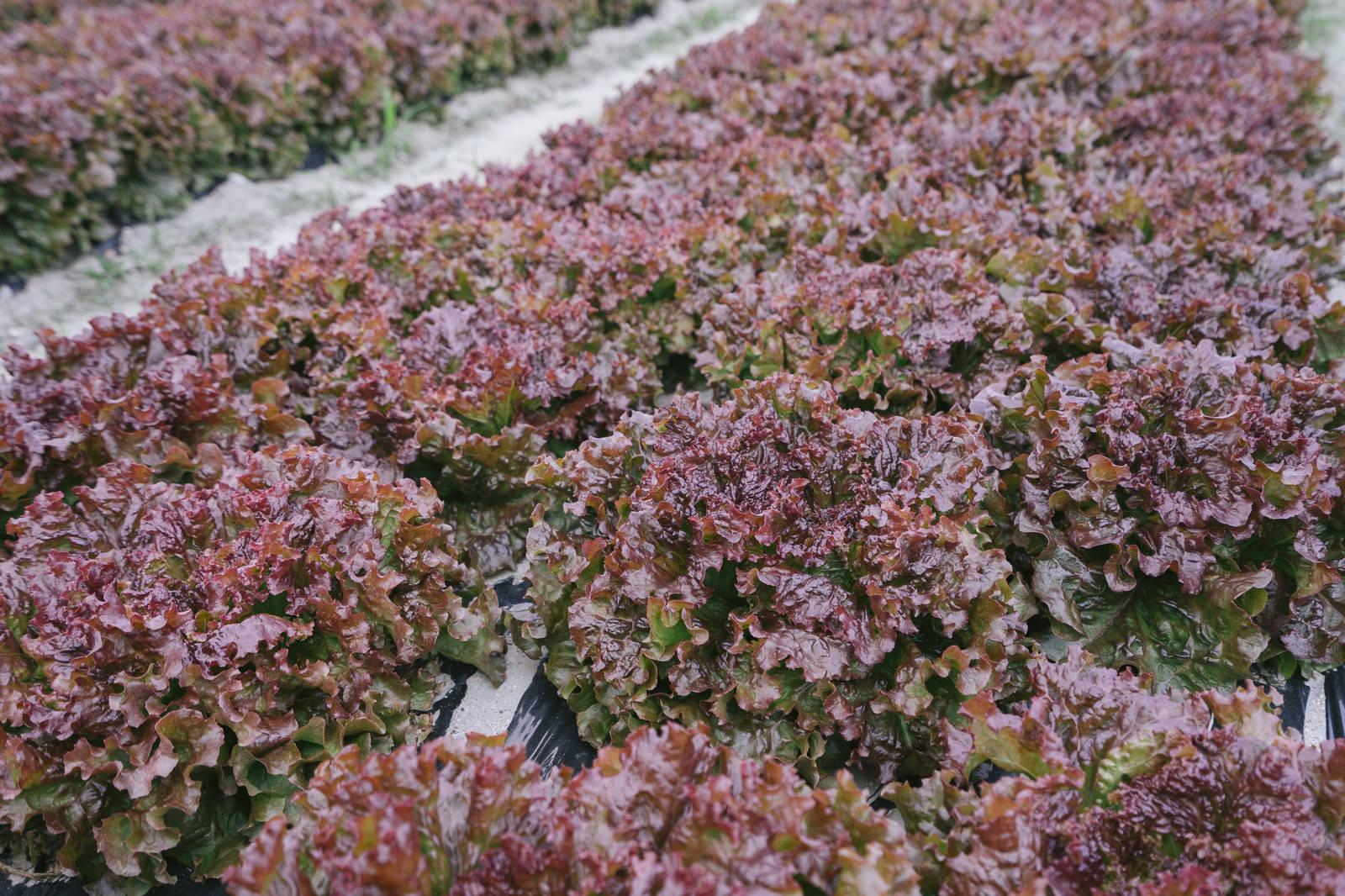 「収穫間近のサニーレタス収穫間近のサニーレタス」のフリー写真素材を拡大