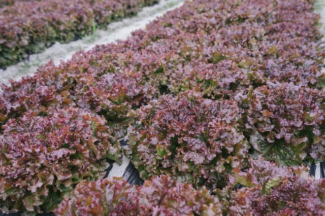 収穫間近のサニーレタスの写真