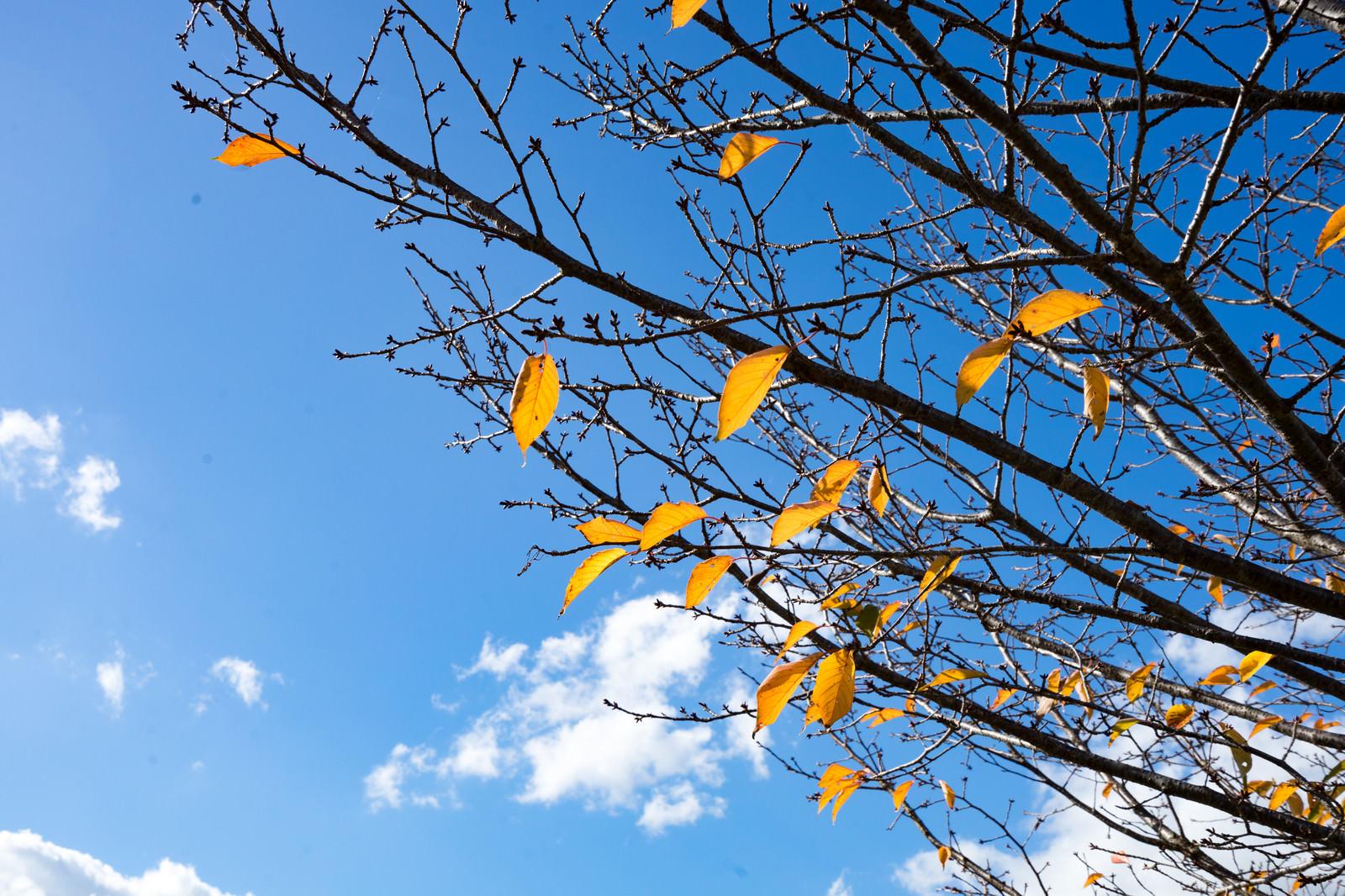 「枝の残る紅葉と青空」の写真