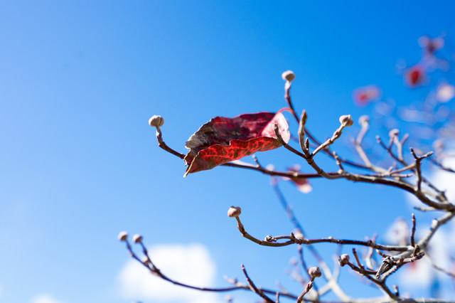 枝に僅かに残る紅葉した枯葉の写真