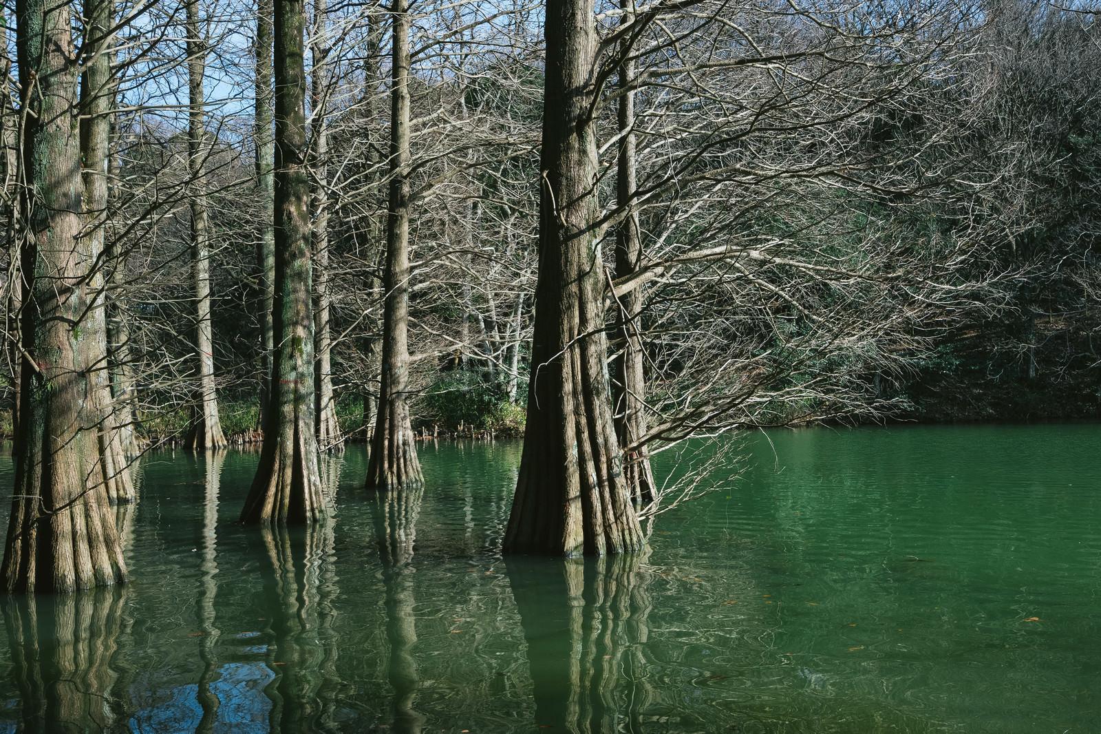 「冬の篠栗九大の森」の写真