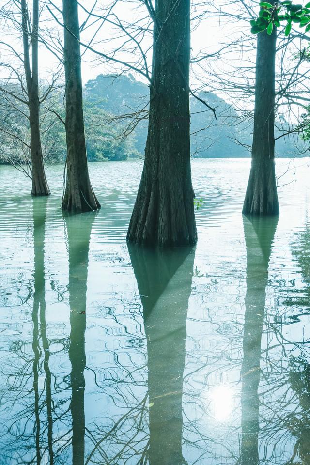 水面に反射するラクウショウと篠栗九大の森の写真