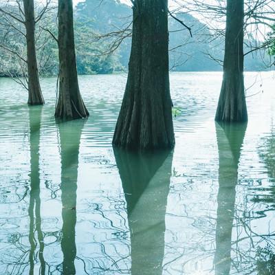 「水面に反射するラクウショウと篠栗九大の森」の写真素材