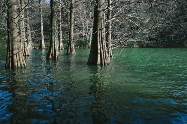 篠栗九大の森とラクウショウの呼吸根の写真