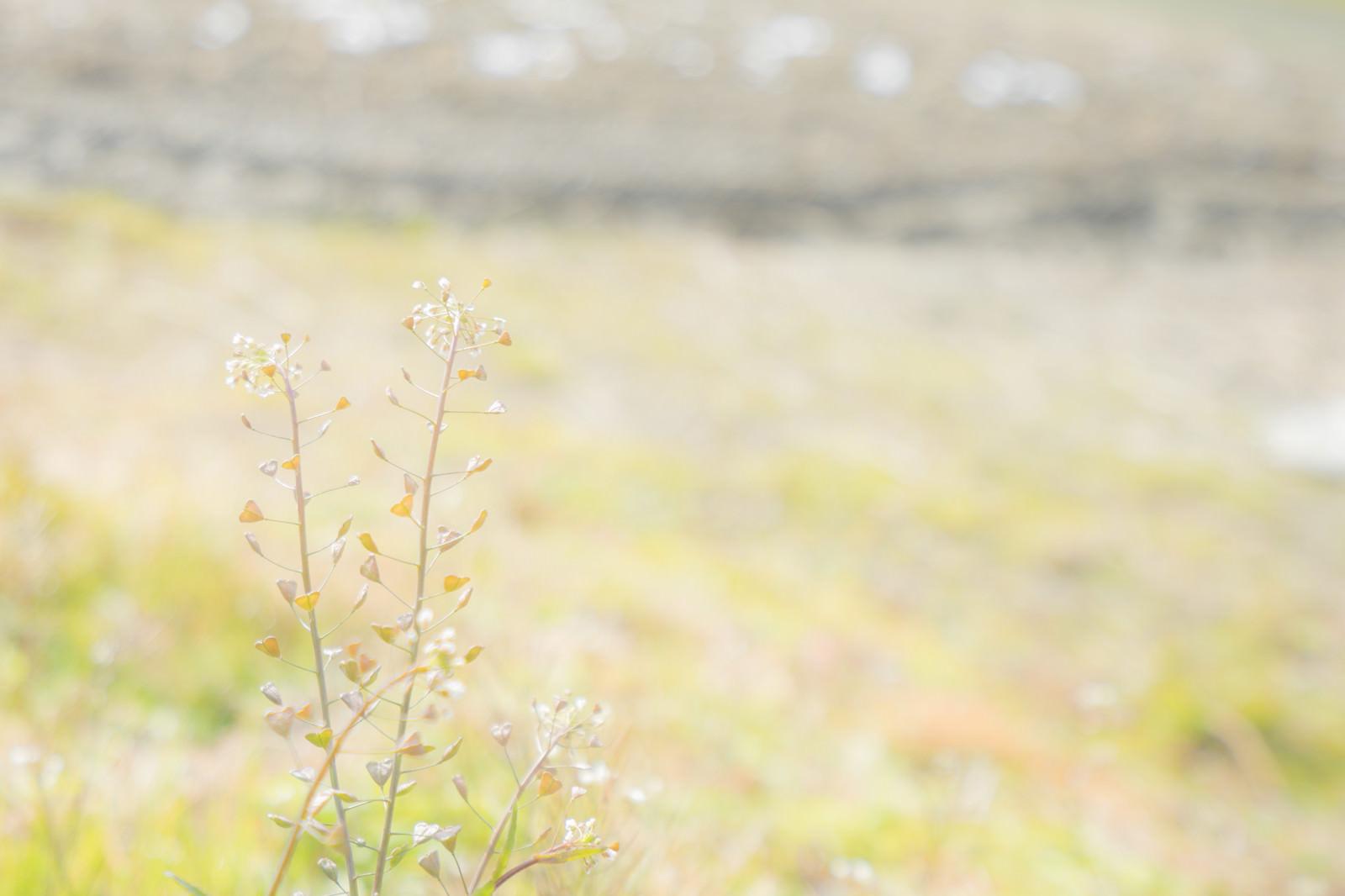 「土手に咲くぺんぺん草」の写真