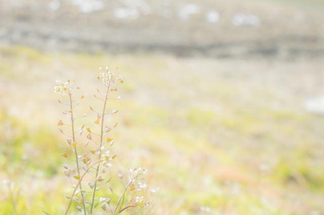 土手に咲くぺんぺん草の写真