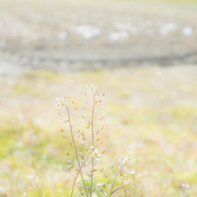 畑端に咲くナズナの写真