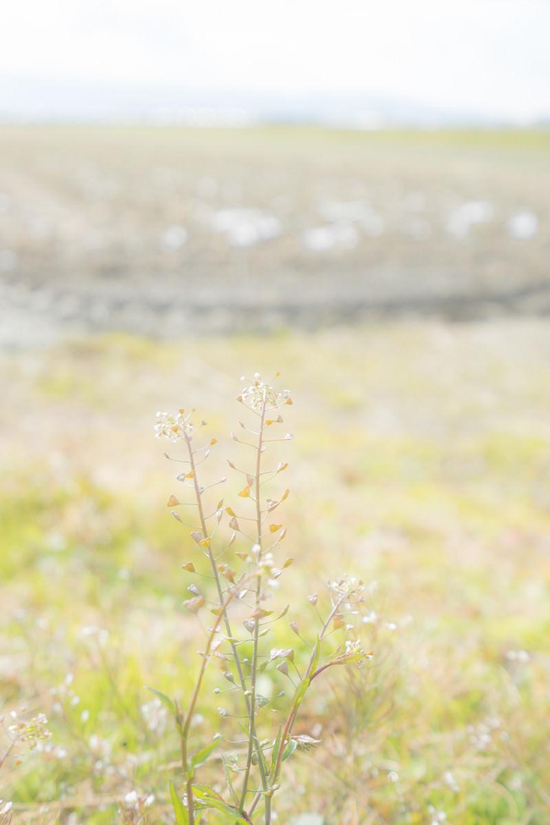 「畑端に咲くナズナ」の写真