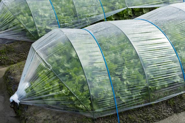 ハウス栽培で育つ葉物野菜(大刀洗町)の写真