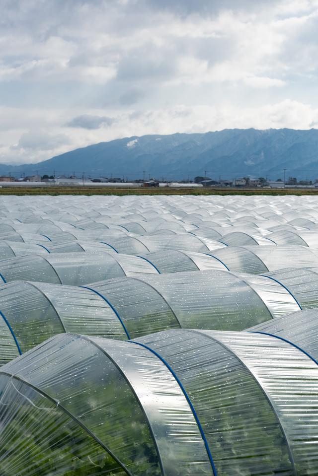 葉物野菜を育てるハウス栽培の風景(大刀洗町)の写真
