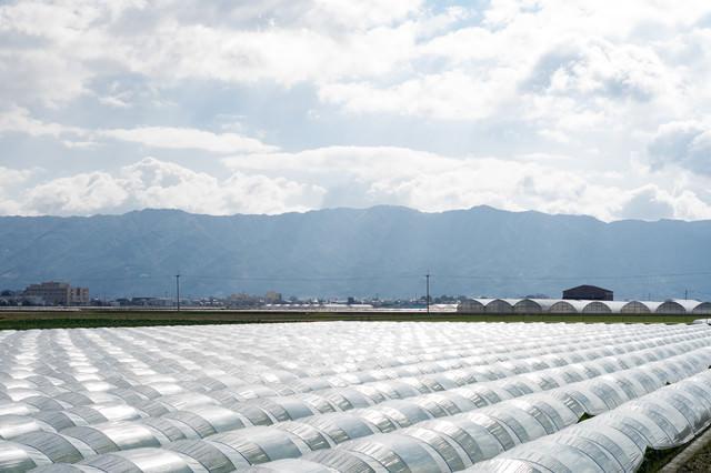 ハウス栽培の光景の写真