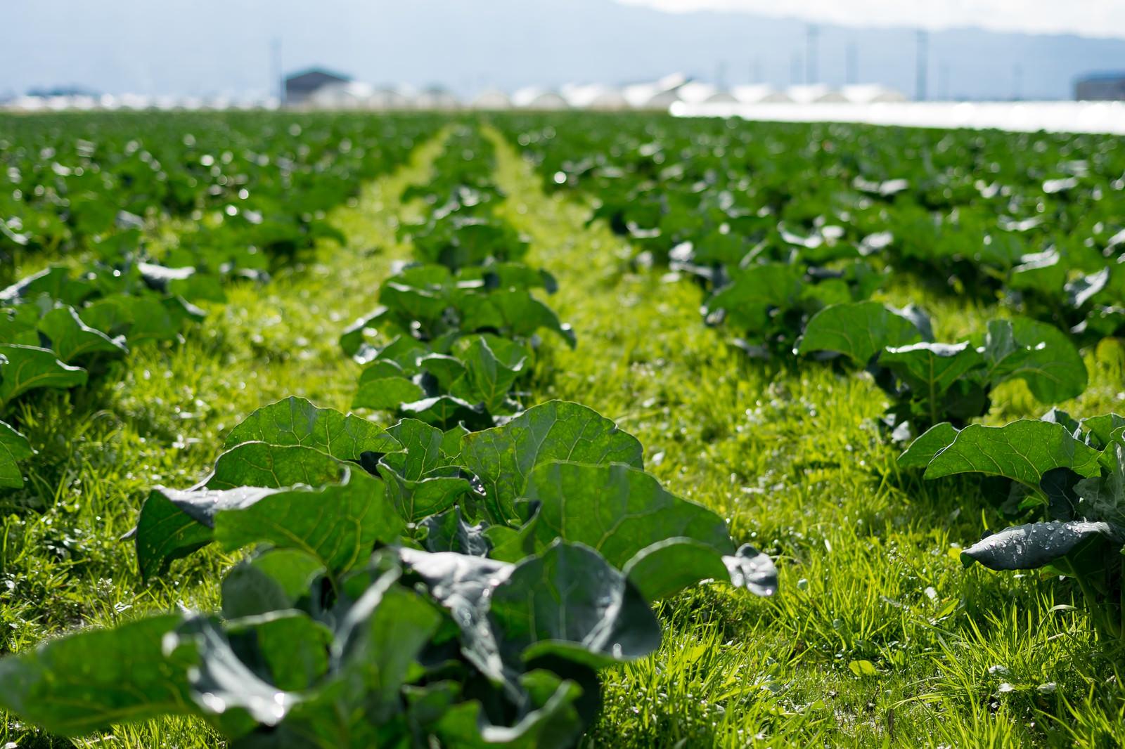 「一面の畑に育つ葉物野菜(大刀洗町)」の写真
