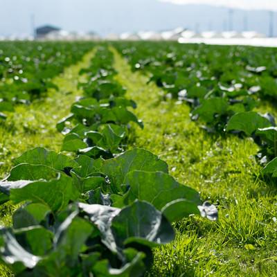 一面の畑に育つ葉物野菜(大刀洗町)の写真