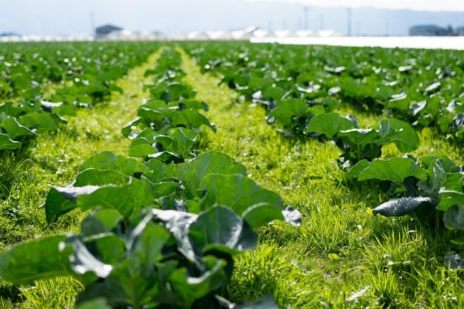 「福岡県大刀洗の緑の畑」の写真