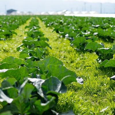 「福岡県大刀洗の緑の畑」の写真素材