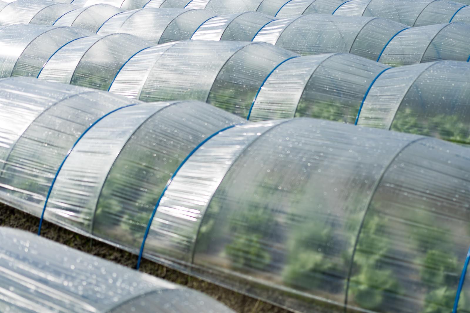 「ビニールハウス栽培で育つ野菜(大刀洗町)」の写真