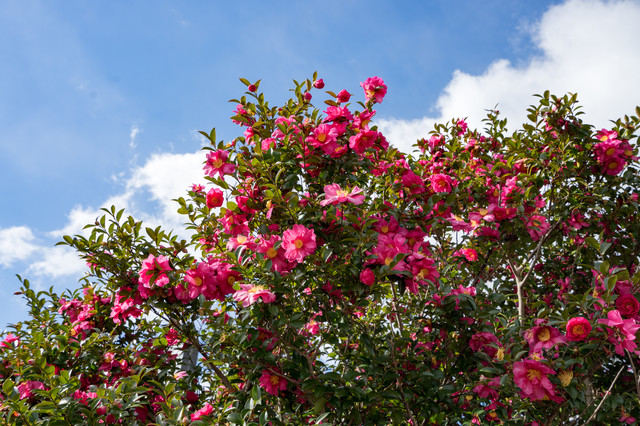 初冬に咲く山茶花(サザンカ)の写真