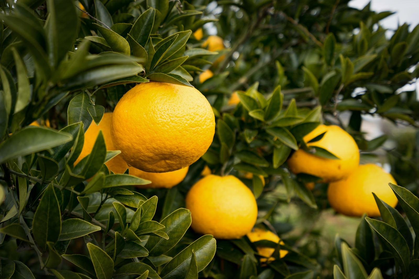 「立派に育った柑橘類の果実」の写真