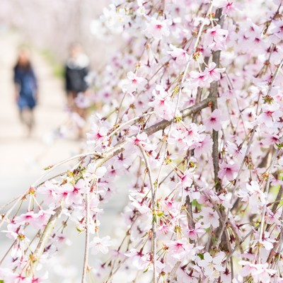 桜と花見をするふたりの写真