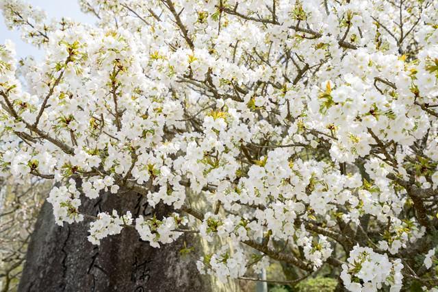 咲き始めの桜の木の写真