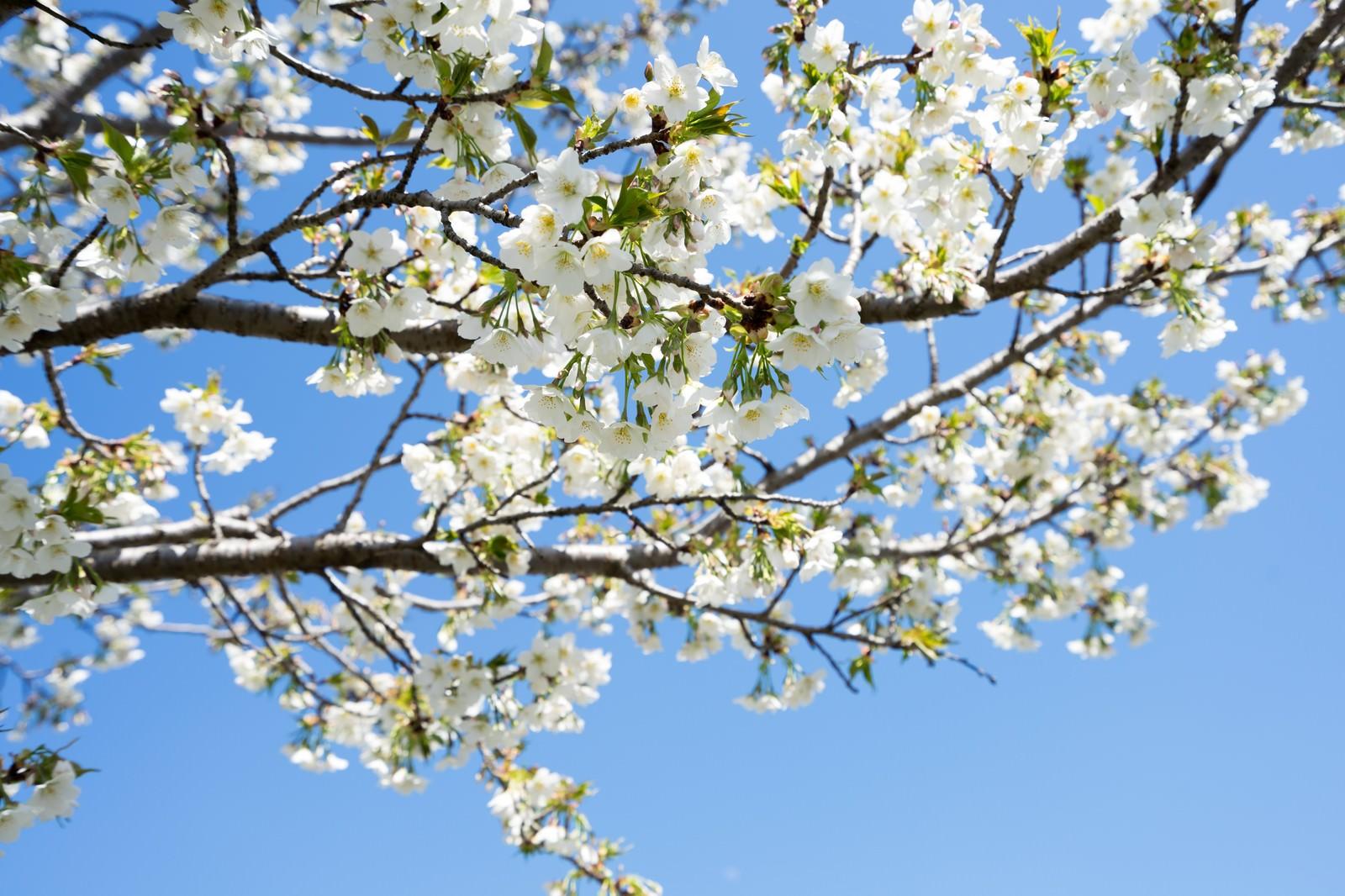 白い花の桜(葉桜)の写真(画像)|フリー素材「ぱくたそ」