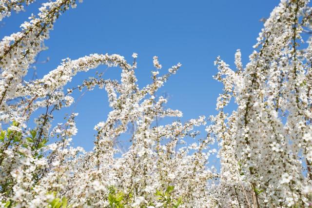 葉桜と青空の写真