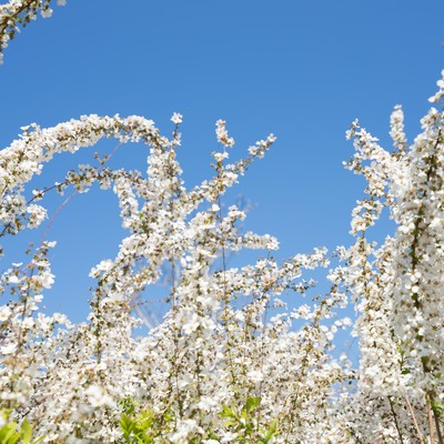 「葉桜と青空」の写真素材