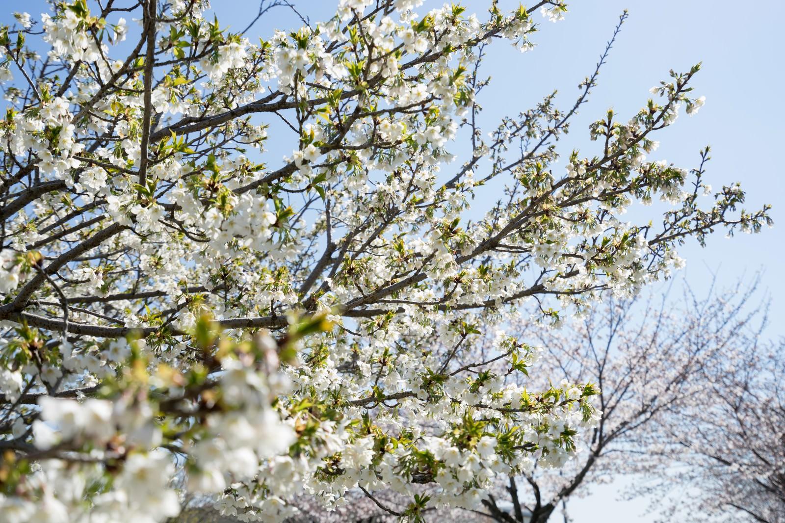 「見頃を終える桜(葉桜)」の写真