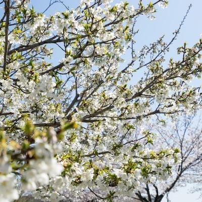 見頃を終える桜(葉桜)の写真