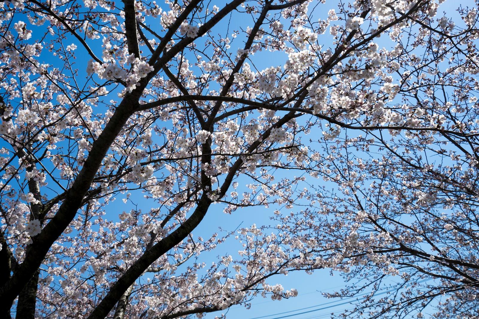 「桜の花と青空」の写真
